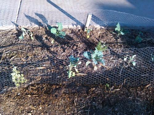 Broccoli Romanesco And Rosemary.