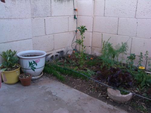 Wheat grass Spinach, Fennel, Redina Lettuce.
