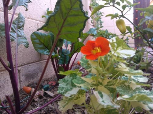 Nasturtiums & Beets