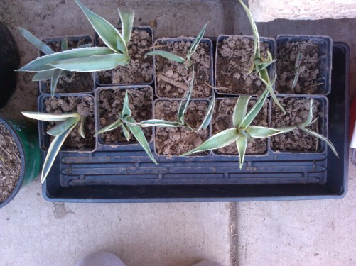 Various Agave Transplants.
