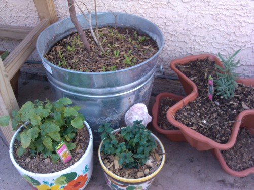 Peppermint, Lemon Mint, Lavender. Theres also some African daisies sprouting next to the year old Pomegranate tree.